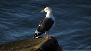 Western-gull-2013