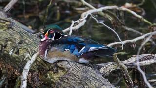 Wood-Duck1