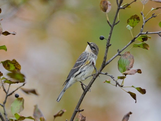 bobvt_20131015_yellowrumped6