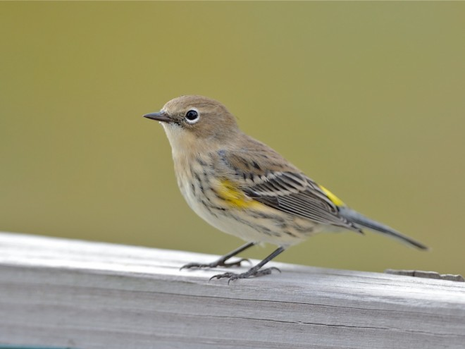 bobvt_20131017_yellowrumped102