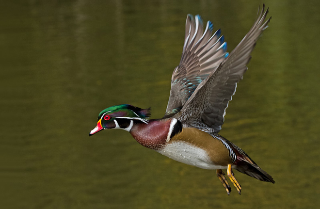 ducks-WoodDuck