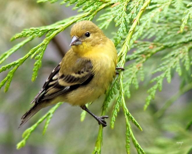 goldfinch_female