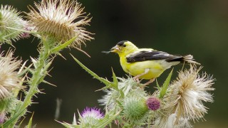 goldfinch_floodplain1