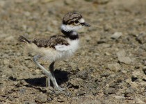 killdeer_baby