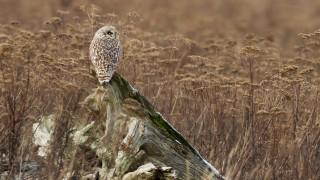 short-eared-owl-6736