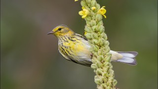 tn_Cape-May-Warbler_2841-1