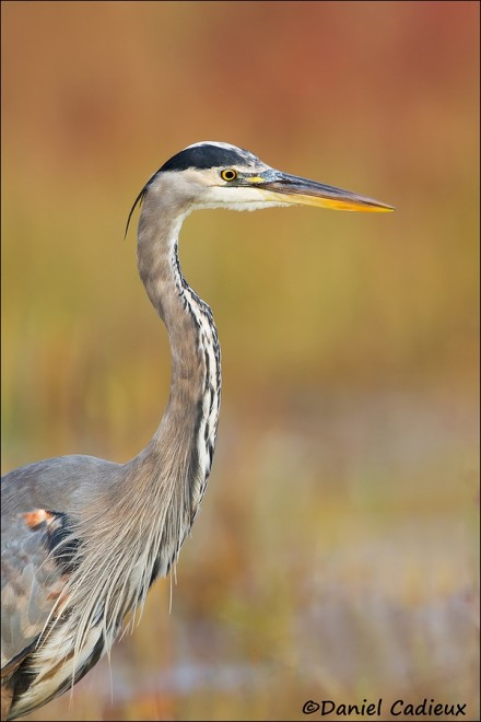 tn_Great-Blue-Heron_7662-1