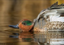 tn_Green-winged-Teal_7724-1