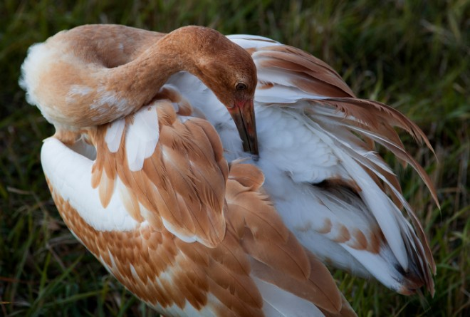 A young Whooping Crane preens at Horicon National Wildlife Refuge. Photo by Tom Lynn