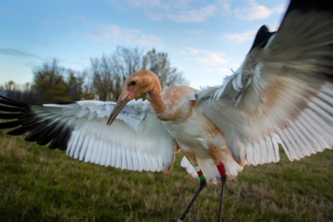 A juvenile crane shows off its colored leg bands.