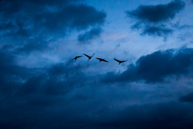 On the evening of their release, four young cranes circle below a cloudy sky, trying to get their bearings after sunset.
