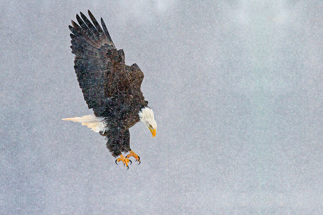 Bald-Eagle-in-Snow-Storm