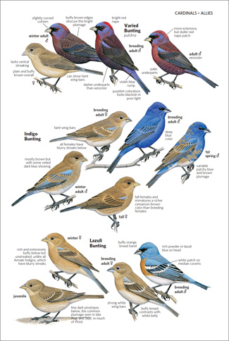 The illustrations of Varied, Indigo, and Lazuli Buntings are among the field guide's 300 new art pieces. Credit: Thomas R. Schultz © National Geographic 2011