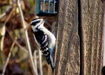 DOWNRY-WOODPECKER