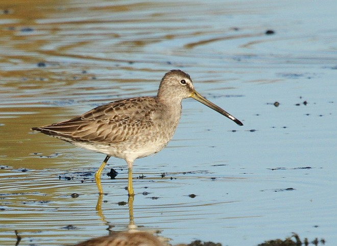 Dowitcher-Long-billed-2013-11-01-210