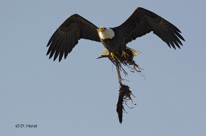 Eagle-with-nesting-material