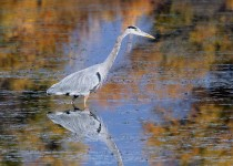 Heron-Great-Blue-2013-11-11-127
