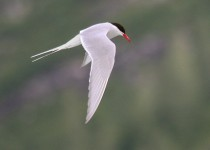 IMG_2264-Artic-Tern-in-flight