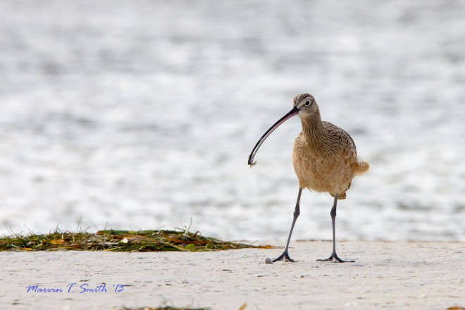 Long-billed Curlew by Marvin Smith