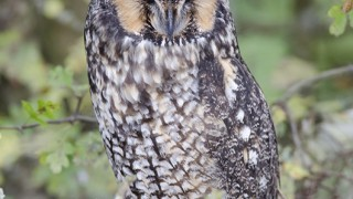 Long-eared-Owl-2