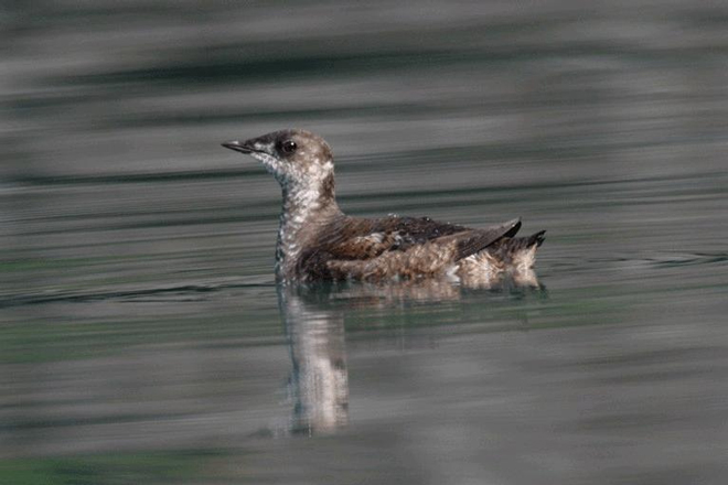 Marbled Murrelet. Photo by U.S. Fish and Wildlife Service