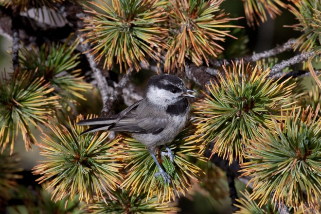 MountainChickadee0811