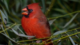 Northern-Cardinal-BWD