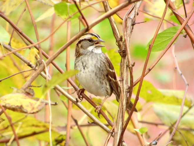 White-throated Sparrow by Charles Wen
