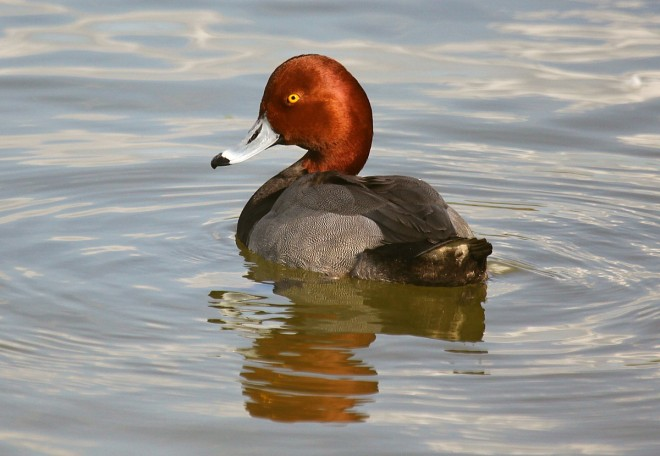 Red-Headed-Duck