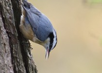 Red-breasted-Nuthatch-1