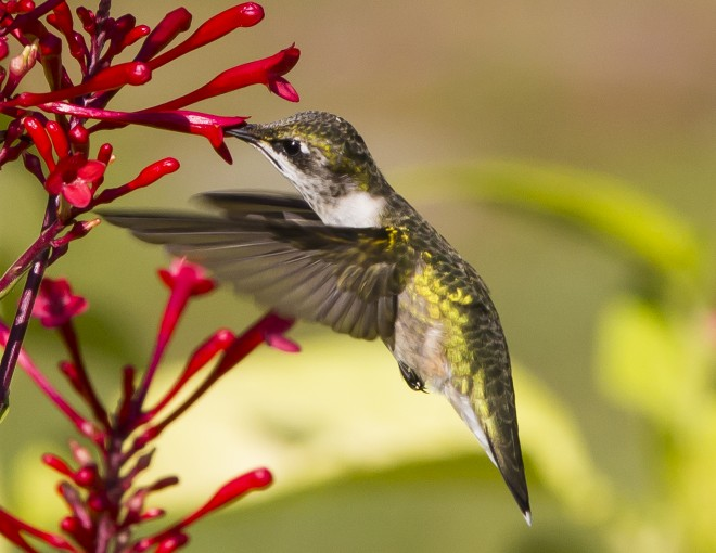 Ruby-throated-Hummingbird-10