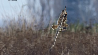 Short-eared-Owls-1