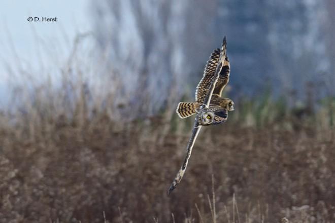 Short-eared-Owls-1