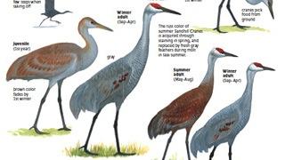 Sibley-Cranes 320x180