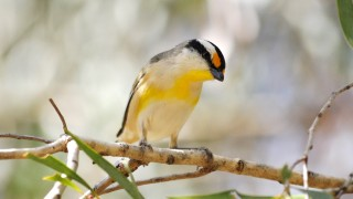 Striated-Pardalote