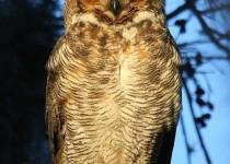 Sunlit-Great-Horned-Owl-Vertical
