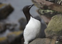Thick-billed-Murres-06-1