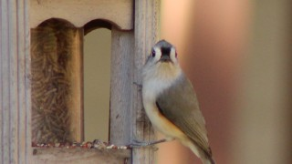 Titmouse-looking-ahead-1