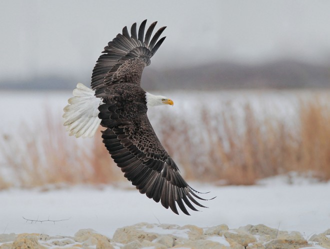 Bald Eagle at Lock and Dam 14 in LeClaire, Iowa, by Daniel Behm.
