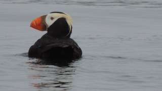 Tufted-Puffins-03