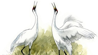 Whooping Cranes 320x180