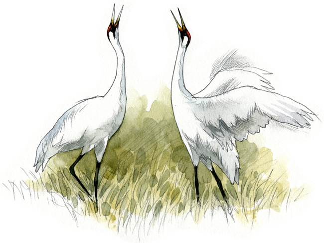Whooping Cranes by Rob Mancini.