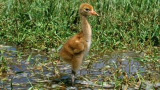 A new management proposal may help Whooping Cranes hatch more chicks like this one next spring. Photo by the International Crane Foundation