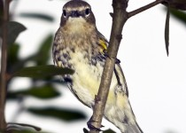 YellowrumpedWarbler2
