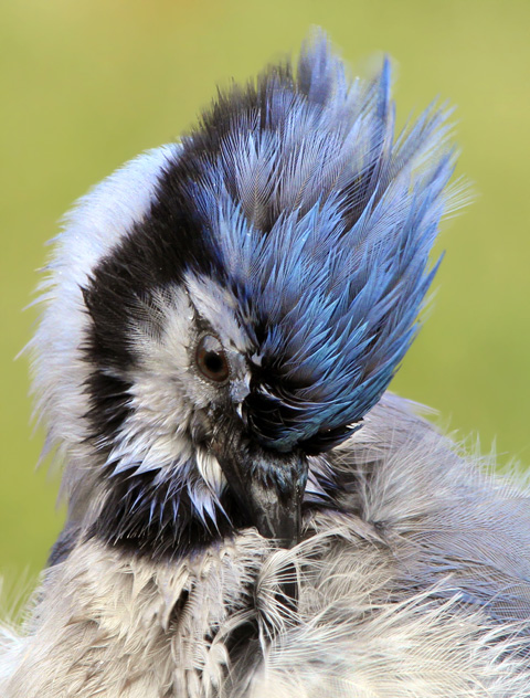blue-jay-saunders