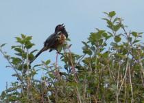cedar-waxwing-7-2012-040
