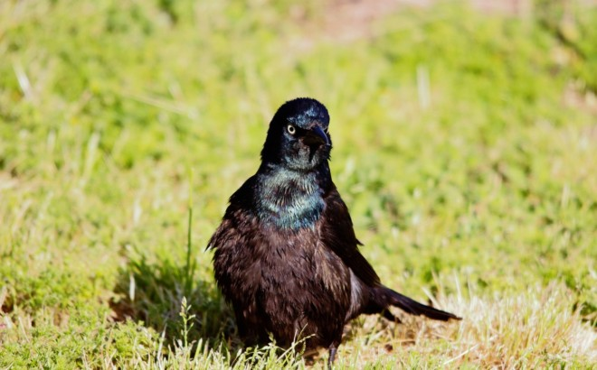 common-grackle-3-1280x797