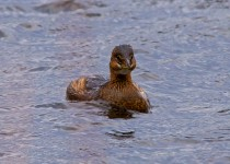 happy-grebe