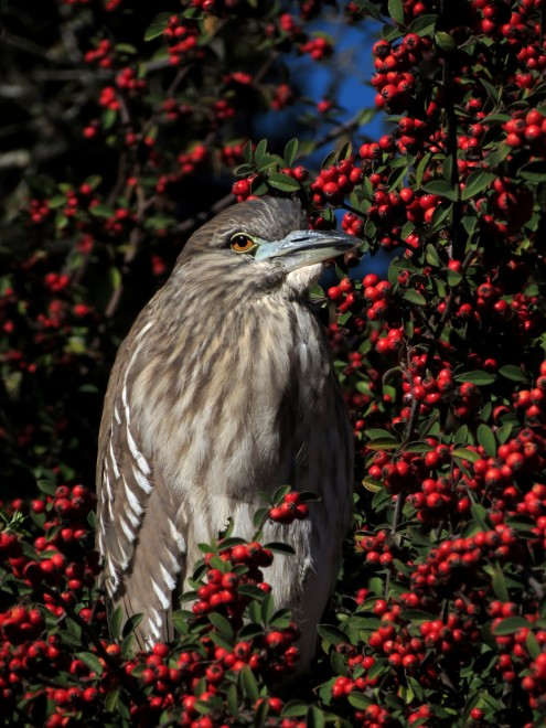heron-berries
