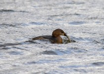 hungry-grebe